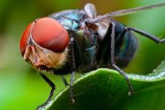 Macro de la mosca Imagenes de archivo