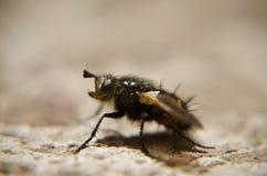 Macro de la mosca Imagen de archivo libre de regalías