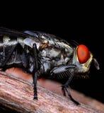 Macro de la mosca cerrado para arriba Fotografía de archivo