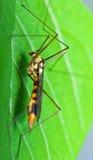 Macro de la mosca de grúa Imagen de archivo libre de regalías