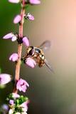Macro de la mosca de la libración Fotos de archivo