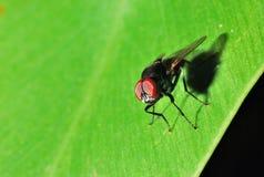 Macro de la mosca doméstica imagenes de archivo