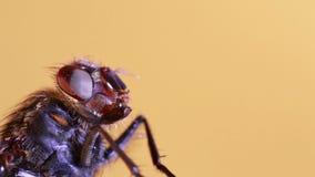 Macro de la mosca doméstica almacen de video