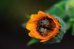 Macro de la mosca en la flor amarilla Imagenes de archivo