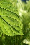 Macro de la naturaleza del verde de la hoja de la mora de la transparencia Foto de archivo