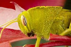 Macro de la ninfa verde clara del saltamontes Imágenes de archivo libres de regalías