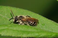 Macro de la pequeña abeja salvaje caucásica con las antenas largas en el le verde Imagenes de archivo