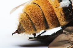 Macro de la picadura del abejorro Fotografía de archivo