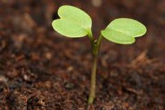 Macro de la planta de semillero Fotografía de archivo