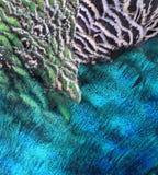Macro de la pluma del pavo real Fotografía de archivo