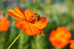 Macro de la polinización de la abeja Imagen de archivo libre de regalías