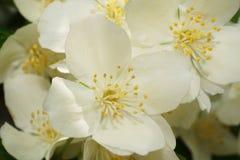 Macro de la primavera y de las flores blancas del ordin caucásico del chubushnik fotografía de archivo
