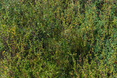 Macro de la rama de la hoja del follaje del abedul de Betula Nana Fotos de archivo