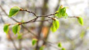 Macro de la rama de la primavera almacen de metraje de vídeo