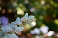 Macro de la rama y de las agujas del pino fotos de archivo