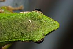 Macro de la rana verde Foto de archivo