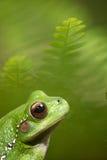 Macro de la rana verde Fotos de archivo libres de regalías