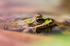 Macro de la rana verde imagen de archivo