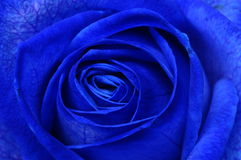 Macro de la rosa del azul Fotografía de archivo libre de regalías
