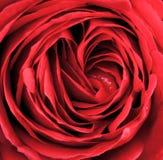 Macro de la rosa del rojo Foto de archivo libre de regalías