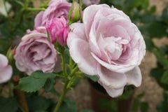 Macro de la rosa rara y muy violeta con las gotas de agua imagenes de archivo