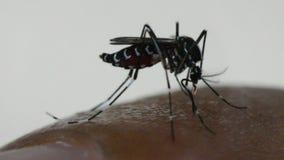 Macro de la sangre que chupa del aegypti del aedes del mosquito metrajes