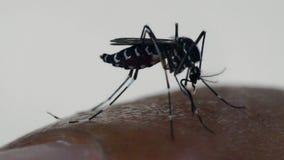 Macro de la sangre que chupa del aegypti del aedes del mosquito almacen de video