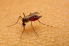 Macro de la sangre que chupa del aegypti del aedes del mosquito cercana para arriba en Fotografía de archivo
