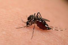 Macro de la sangre que chupa del mosquito Fotografía de archivo