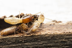 Macro de la termita Fotografía de archivo