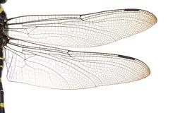 Macro de las alas de los bidentata de Cordulegaster, aislada Imagenes de archivo