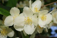 Macro de las flores blancas del ordinario caucásico Philadel del chubushnik fotografía de archivo libre de regalías