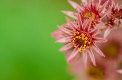 Macro de las flores florecientes del cactus del sempervivum Fotografía de archivo