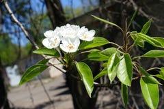 Macro de las flores de la pera y de las hojas blancas del verde Imagen de archivo