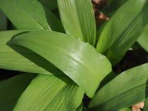 Macro de las plantas del ajo salvaje fotografía de archivo libre de regalías