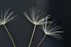 Macro de las semillas del danelion con descensos del agua imágenes de archivo libres de regalías