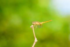 Macro de libellule Photographie stock libre de droits