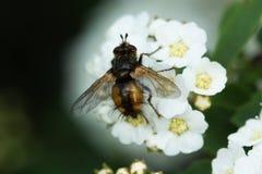 Macro de los Apis de la abeja de la miel que alimentan en la flor blanca Imagen de archivo