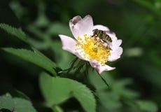 Macro de los Apis de la abeja de la miel que alimentan en la flor Foto de archivo libre de regalías