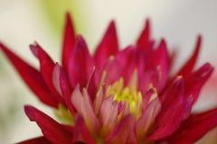 Macro de los estambres de las rosas fuertes Imágenes de archivo libres de regalías
