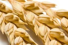 Macro de los oídos del trigo Imagen de archivo libre de regalías