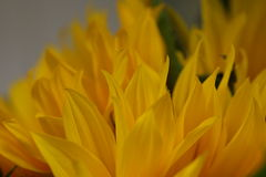 Macro de los pétalos amarillos del girasol Imagen de archivo libre de regalías