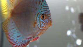 Macro de los pescados rojos azules del disco del copete en un acuario de agua dulce en el fondo blury de las burbujas visto en fr metrajes