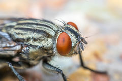 Macro de moscas o del insecto de la mosca fotos de archivo