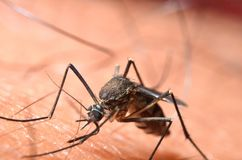 Macro de mosquitos virulentos na pele humana Fotos de Stock Royalty Free