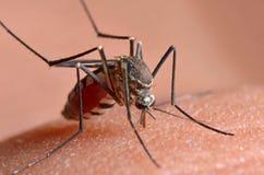 Macro de mosquitos virulentos na pele humana imagem de stock