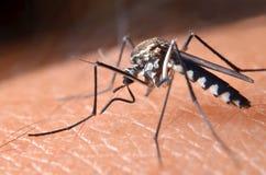 Macro de mosquitos virulentos na pele humana imagens de stock
