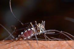 Macro de mosquitos virulentos na pele humana foto de stock