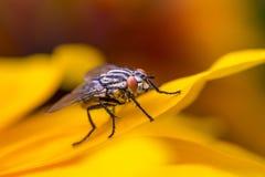 Macro de mouche d'insecte sur la feuille jaune Images stock