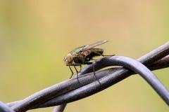 Macro de mouche domestique Photo stock